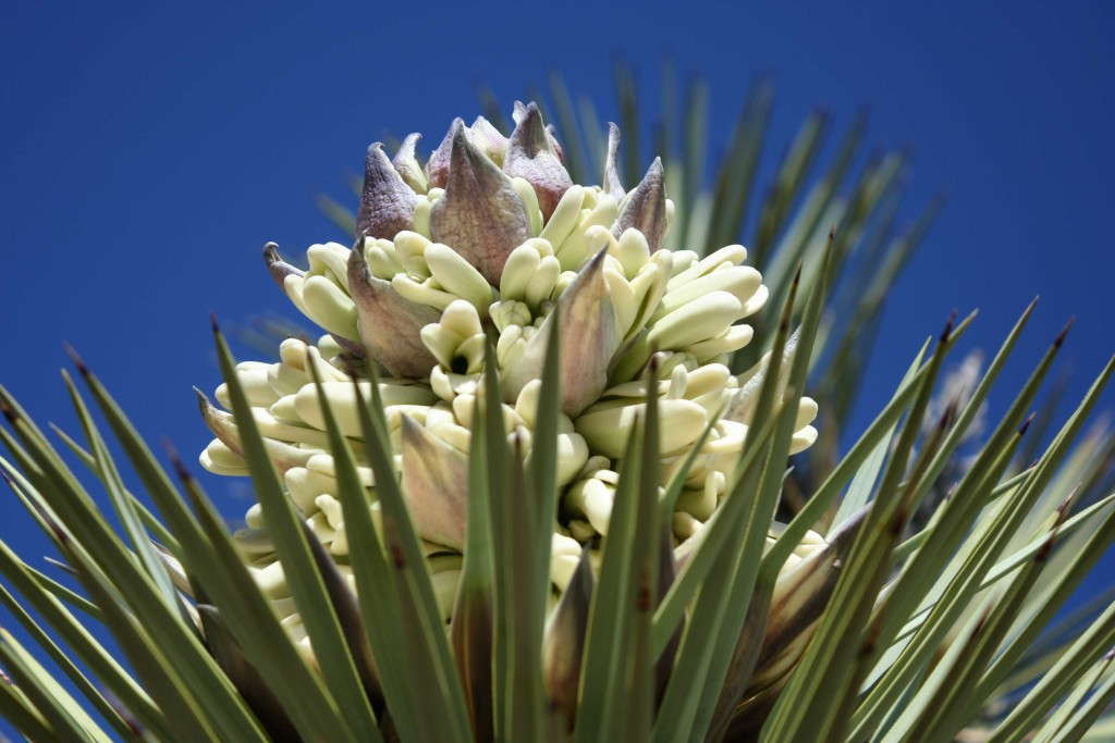 Joshua tree flower